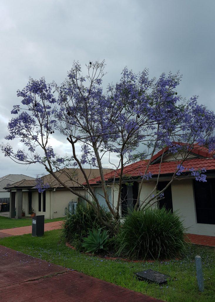 Purple Tree Blooming