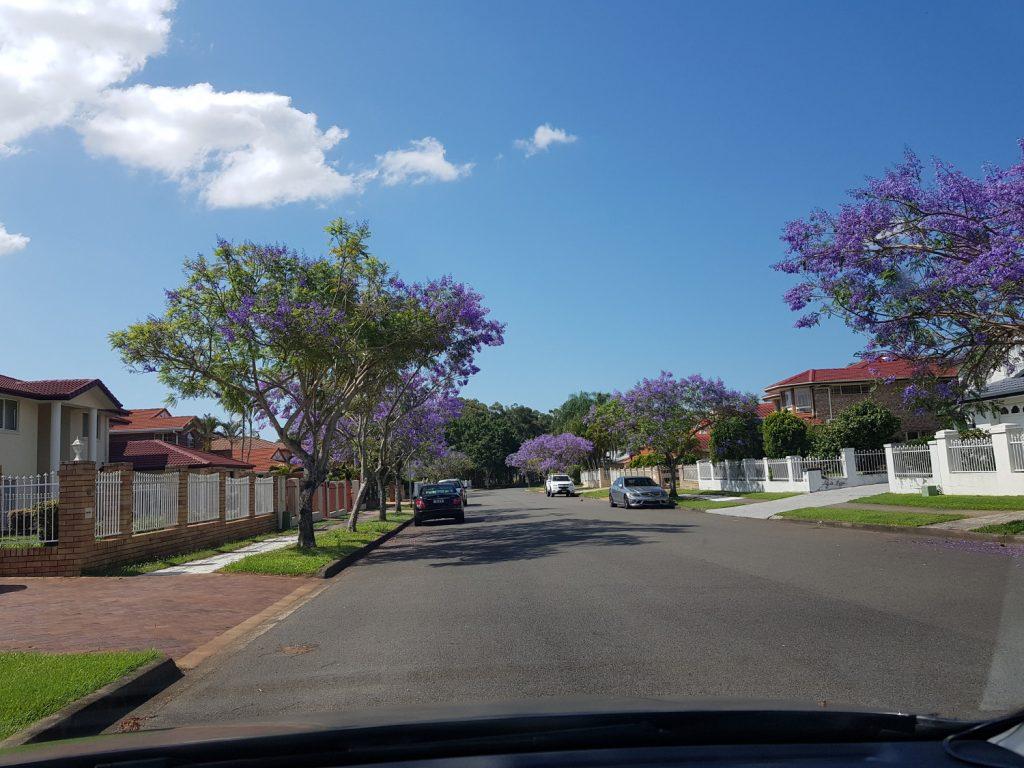 Jacaranda Flowers @Sunnybank Hills