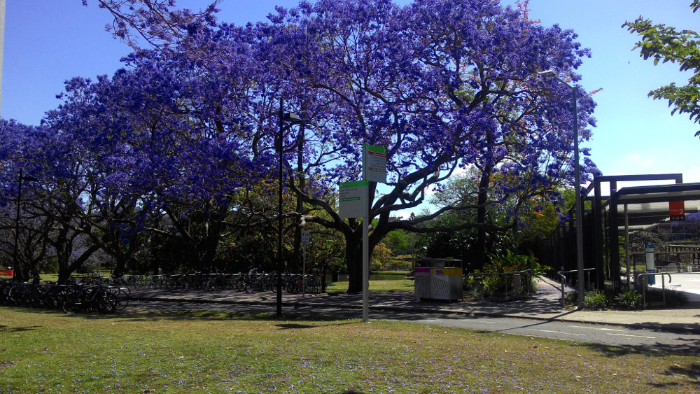Purple Tree Blooming@UQ